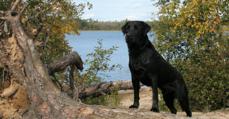 Mn Labradors Lab Puppies For Sale Mn Lab Breeder Mn